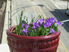 southern patio crocus pot