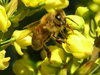 honeybee on mahonia