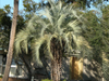 pindo palm in parkway