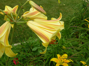 african queen lily