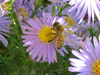 honeybee on smooth aster