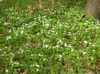 rue anemone patch