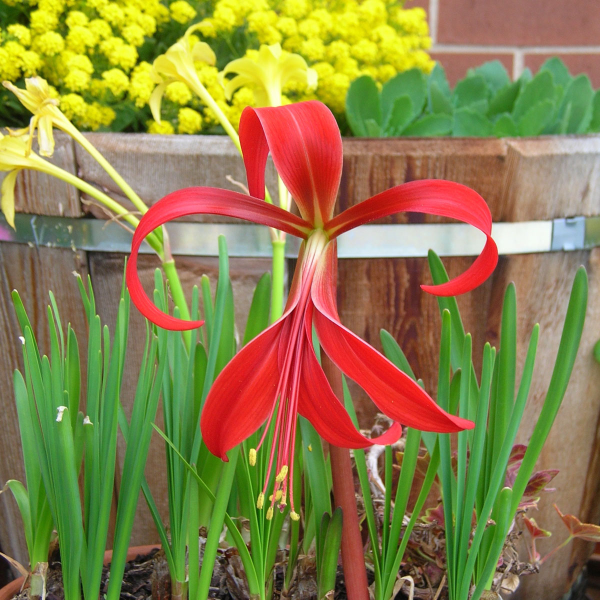 Sprekelia formossisima: William's Featured Plants: Summer Bulbs